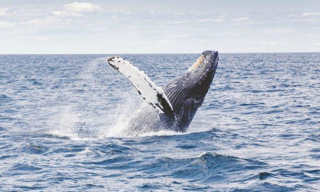 Walvissen spotten in IJsland